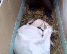 Коза с новорожденным козленком
