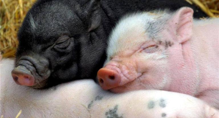 сколько свинья приносит поросят