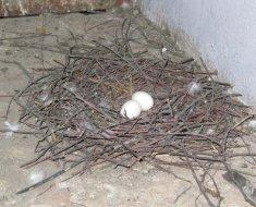 Голубиное гнездо на полу