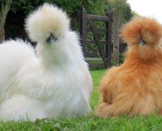 Декоративная курица Шелковая
