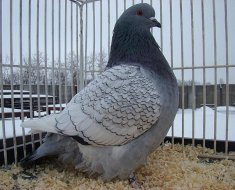 Польский голубь тёмного окраса