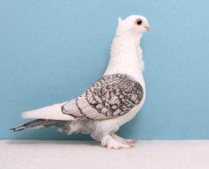 Голубь породы Анатолийская чайка