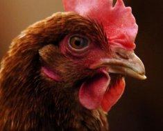 Голова курицы Шейвер Браун