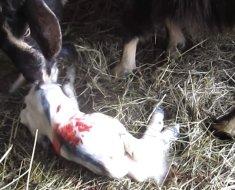 Коза облизывает детенышка