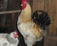 Петух рядом с курицей в курятнике