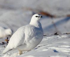 Белоснежная пернатая зимой