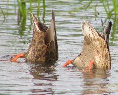 Утки ныряют под воду