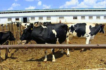 Организация выгула коровы