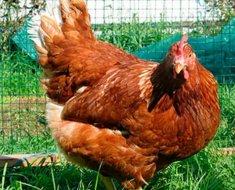 Курица породы Редбро на траве