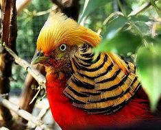 Самец Золотого фазана