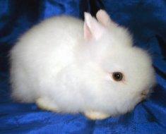 Белый карликовый питомец