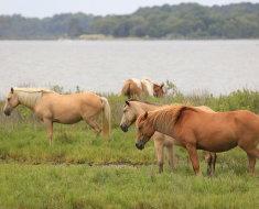 Исландские лошади на природе
