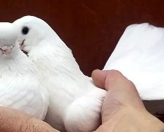 Крюковские голубки в руках