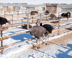 Страусы на выгуле зимой