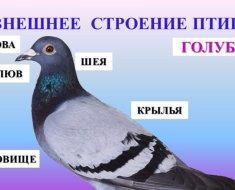 Внешнее строение голубя