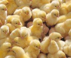 Маленькие цыплята бройлеры