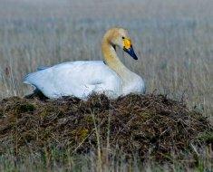 Гнездо тудрового лебедя