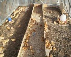 Три зоны для цыплят в цыплятнике