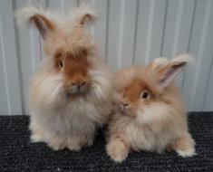 Два кролика ангорских пуховых