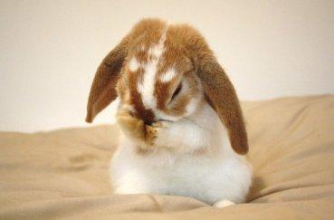 Кролик чешет нос