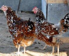 Две Ливенских курицы