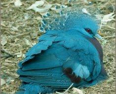 Венценосный голубь отдыхает на земле