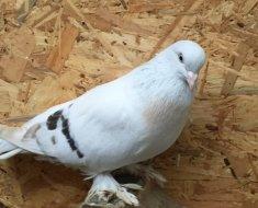 Бойный голубь Такла