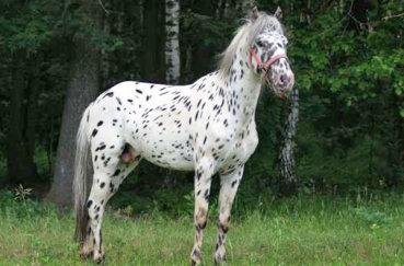 Чубарый конь в лесу