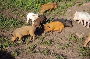 Свинки лакомятся растительной ботвой с грядок