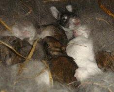 Крольчата в маточнике