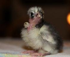 Милый суточный цыпленок голошейной породы