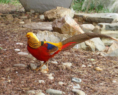 Золотой фазан на камнях