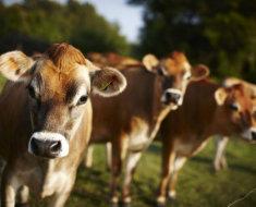 Три коричневые коровки джерси на лугу