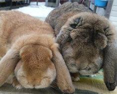 Два вислоухих кролика