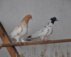 Два Иранских бойных голубя