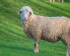 Овца прекос в полный рост