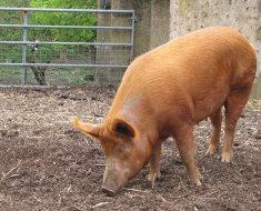 Свинка во дворе в поисках еды