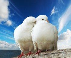 Белый голубь пощипывает голубку
