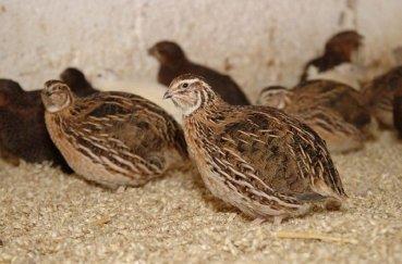 Молодые птички в клетке