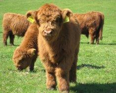 Мохнатые телята шотландской породы