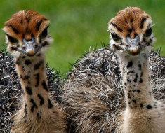 Два птенца страуса смотрят в камеру