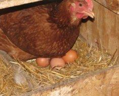 Курица сидит на яйцах