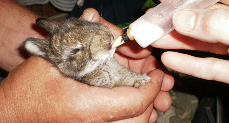 как выкормить крольчонка без крольчихи