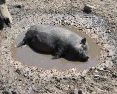 Вислобрюхая купается в грязи