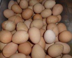 Много цесариных яиц в ящике