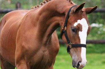 Профиль голландского коня