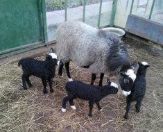 Романовская овца с ягнятами