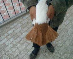 Цветохвостый северокавказский Космач в руках хозяина