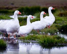 Четыре Белых гуся на болоте