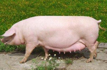Порода свиней ландрас на выгуле